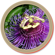 ingredients-passion-flower